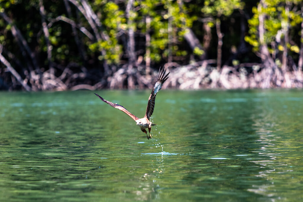 Seeadler (white-tailed eagle)
