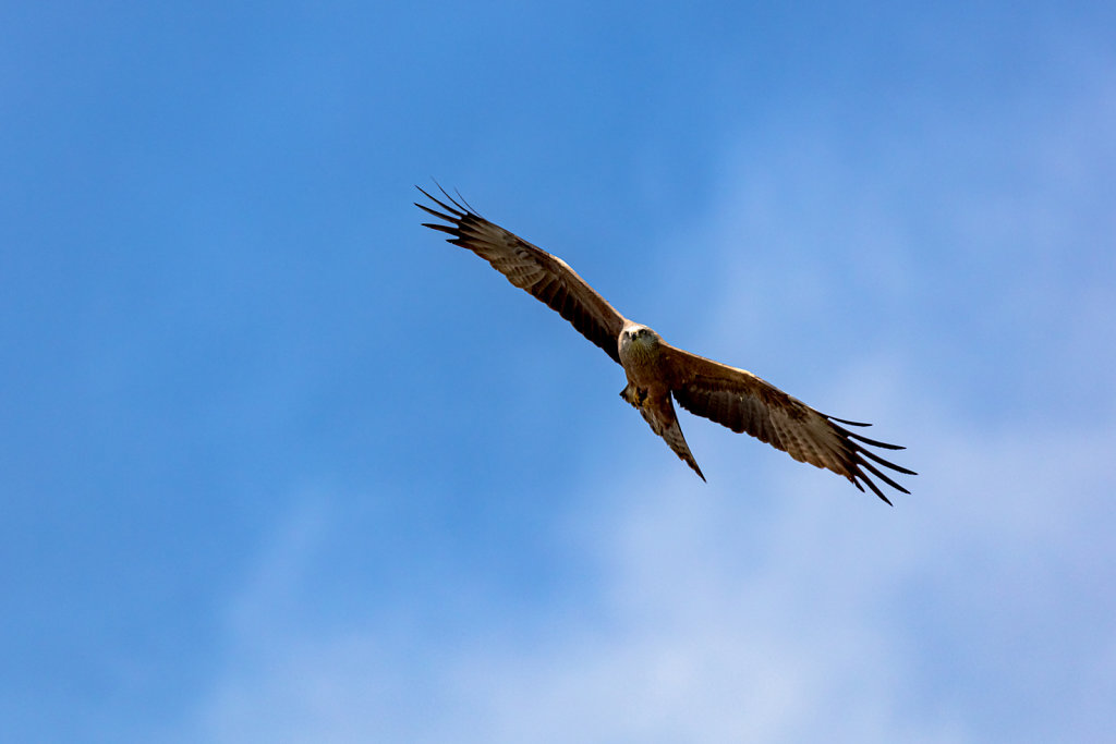 Rotmilan (red kite)