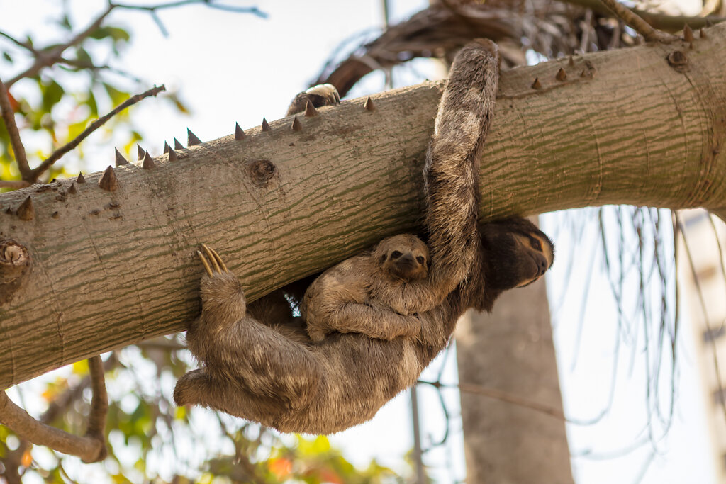 Braunkehl-Faultier (brown-throated sloth)